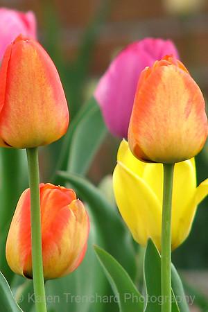 Tulip Garden Easter Egg Colors