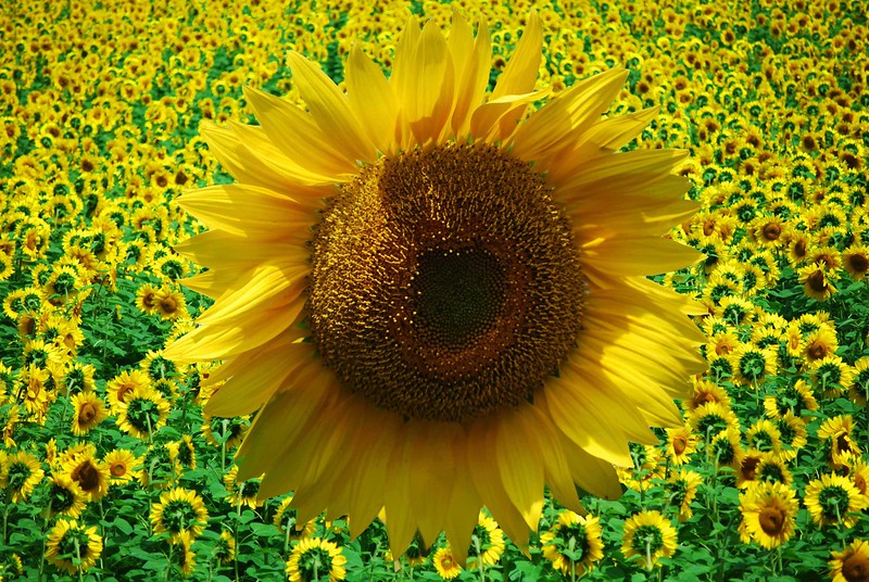 Sunflower-Overlay-1045-C copy