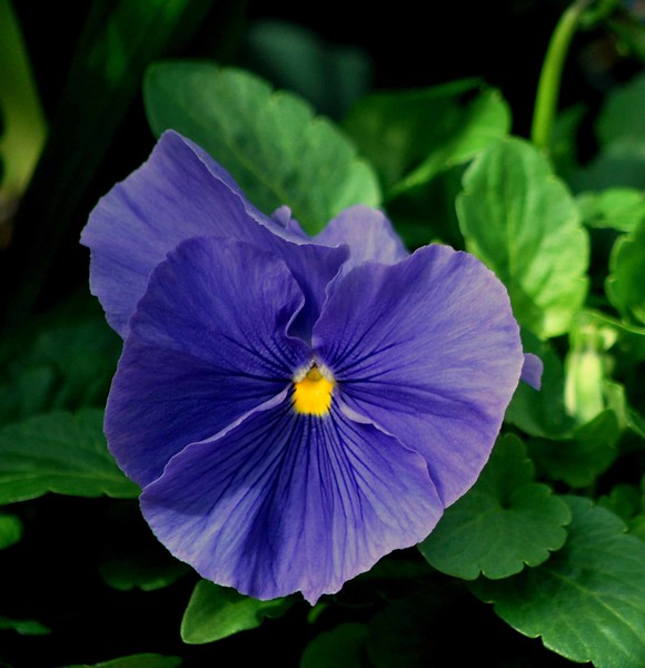 Purple Pansy-157-B
