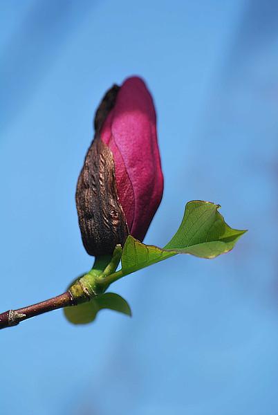 Magnolia Bud-115-C