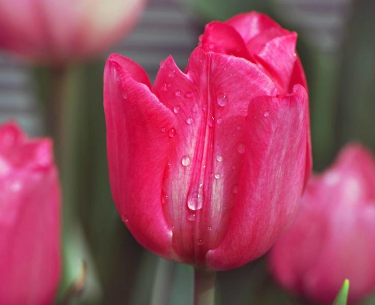 Pink Tulip-036-C