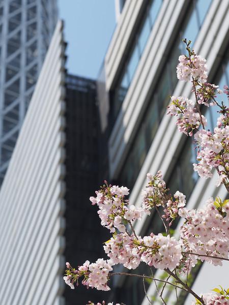 スカイツリーの下に咲く桜。