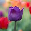 Portrait of a Tulip