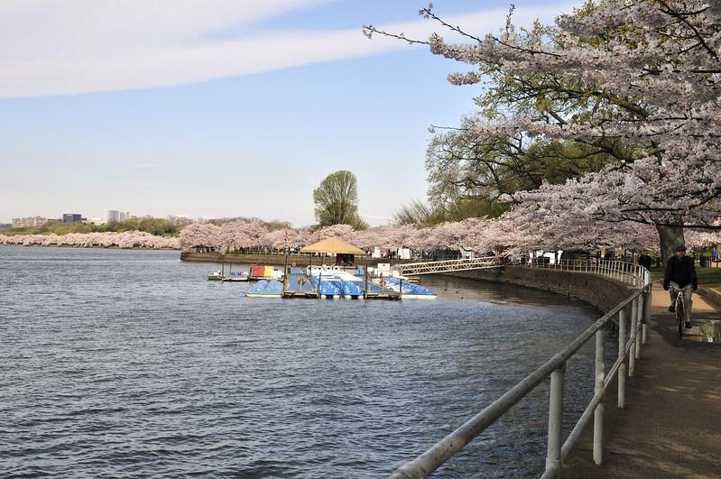Biking round the blossoms