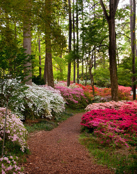 Azalea trail at Callaway