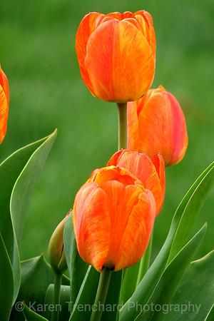 Lyrical Orange Tulips