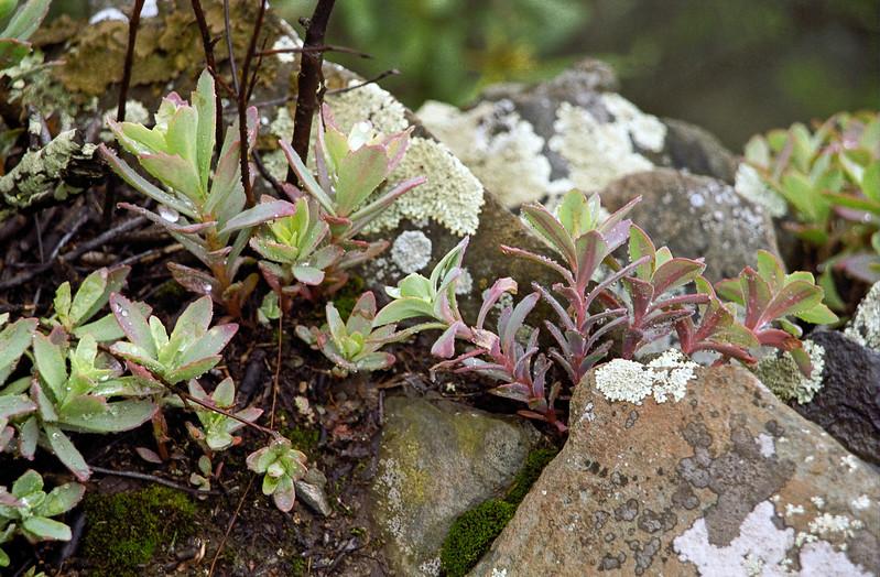 Early Spring plants - Wintergreen, Virginia