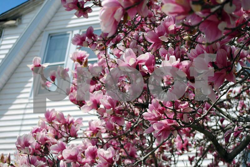Magnolias-094-C
