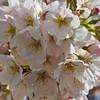 461_WhiteBlossums_resize
