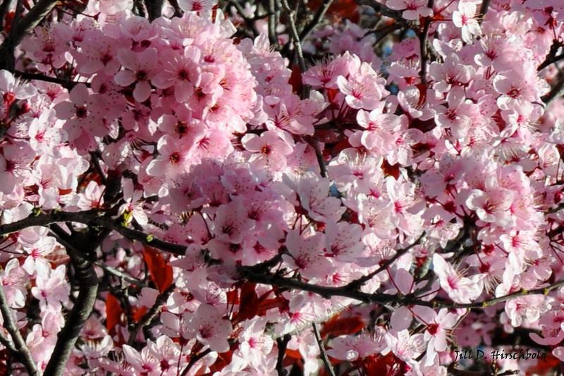 53_Pinkblossum