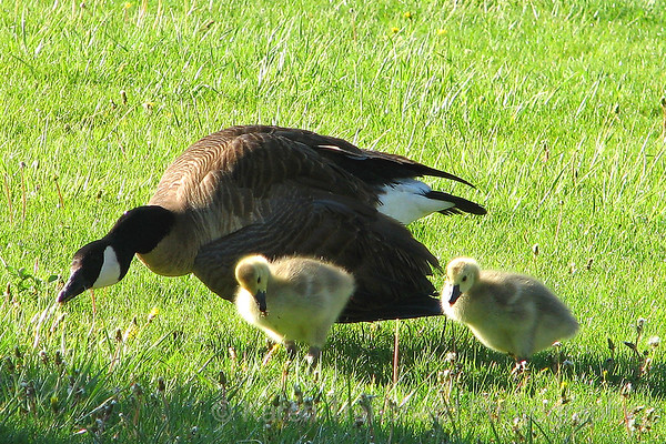 Mom and Two Chicks