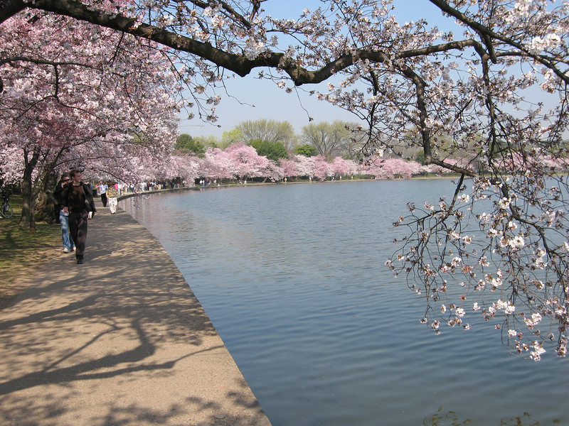 Cherry blossoms around Tidal Pool -  Washington, DC