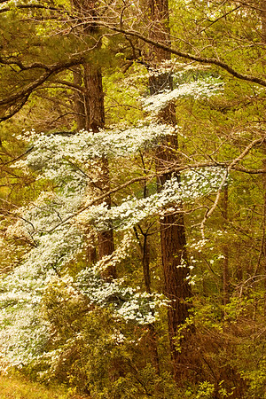 Dogwood in spring