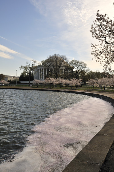 Cherry blossom tide