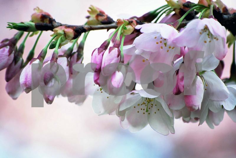 Tree-Blossoms-005-B