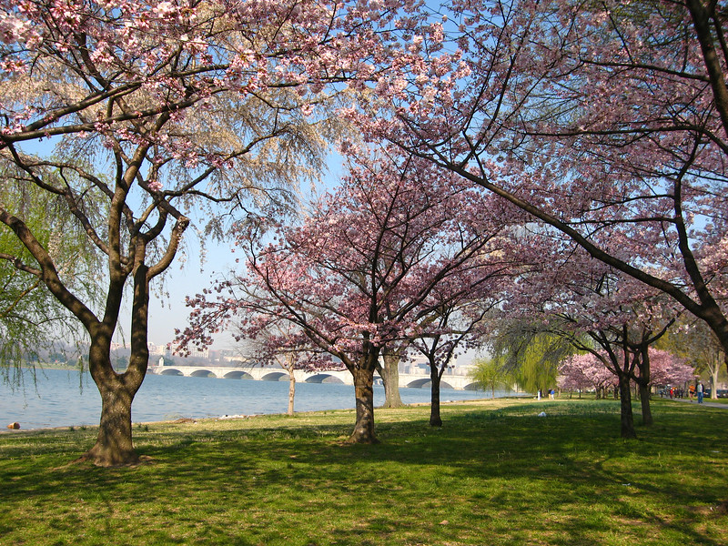 Memorial Bridge with blossoms - Washington, DC