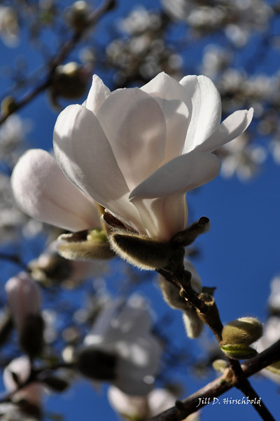50_Whiteflowerblue