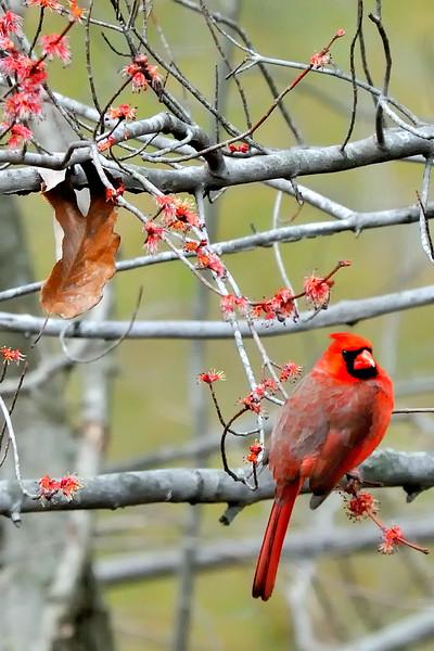 Cardinal amidst early tree buds