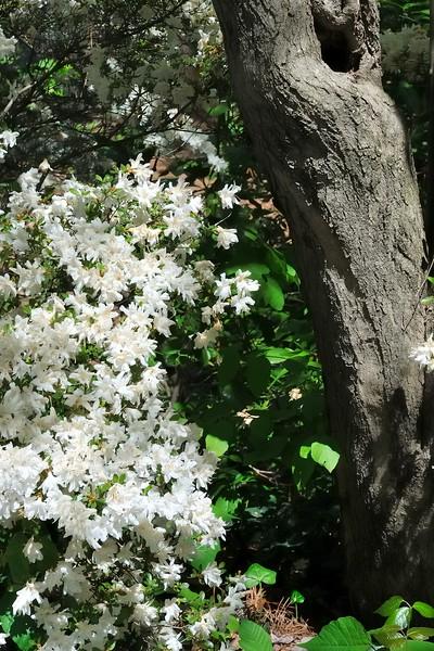 Azaleas - Sarah P. Duke Gardens - Durham, NC