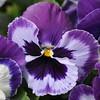 465_PurplePansey_resize