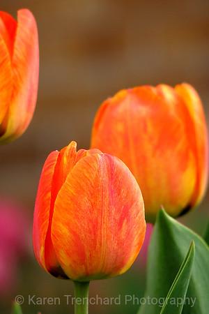 Two Orange Tulips