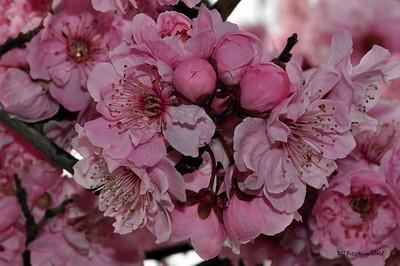 462_PinkCherryBlossums_resize