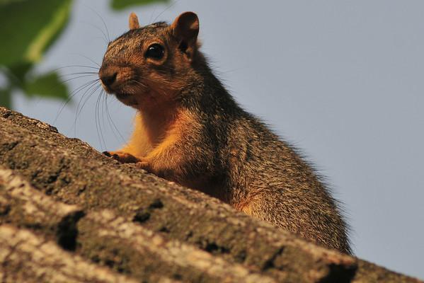 Baby Squirrel
