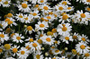 Daisies at Gothic Trailhead