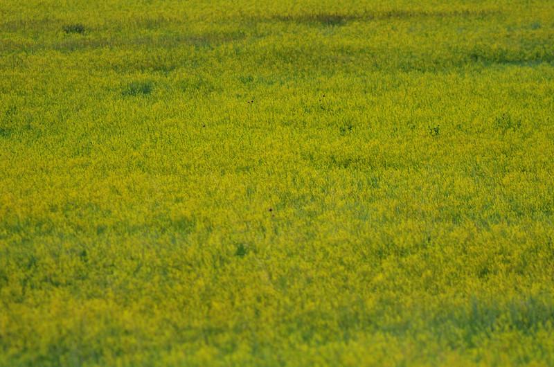 A field of yellow sweet clover