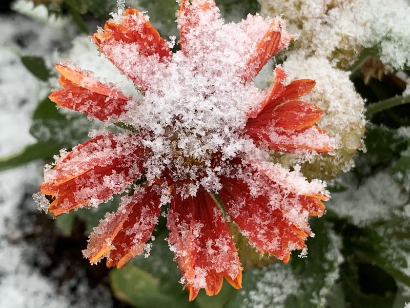 icy blanketflower