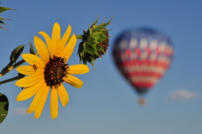 Early in August, I went into mourning when I learned the annual Rocky Mountain Balloon Festival exists no more and then found my favorite wild sunflower field had been mowed.  On an early morning Labor Day bike ride, we lucked into a small patch of wild sunflowers just as two balloons launched.  So I filled my quota of sunflowers and balloons via bicycle!