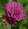 clover or rose crown