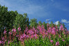 Fireweed and Fabulous Cloud Patterns