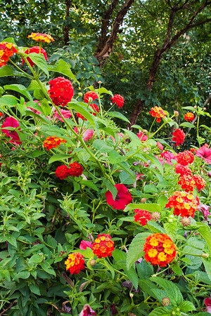 Landscape assignment in a one acre home garden.  Feature lantana.