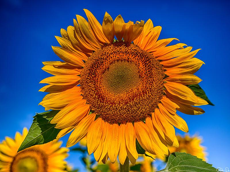 Orange Blue Sunflower