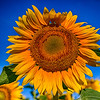 Orange Blue Sunflower