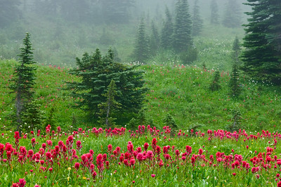 Wildflowers at Mt Rainier NP  006