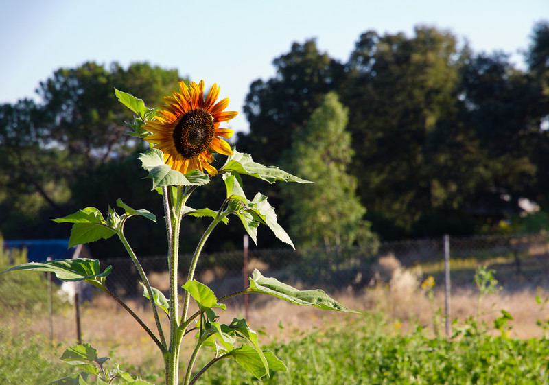 A lone sunflower oversees the Paloma Community Garden in Paloma, CA. August 2010.