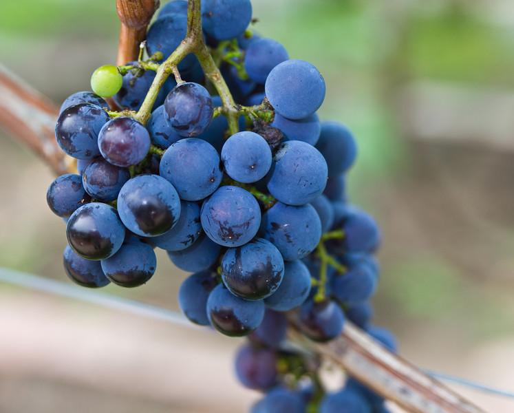 In the vineyard; in time, wine. Mount Ephraim, NJ. August 2012