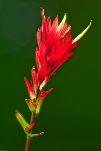 Indian Paintbrush at Mt Rainier NP 003