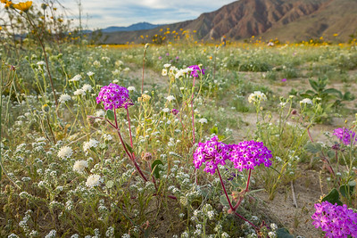 Late afternoon in Anza-Borrego, with verbena and desert sunflowers.