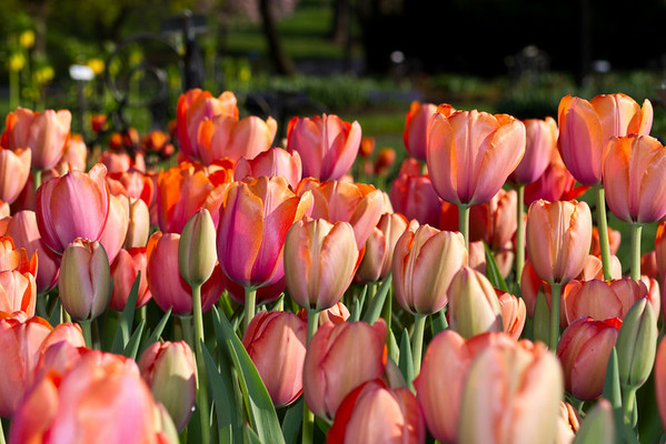 Tulips 2011