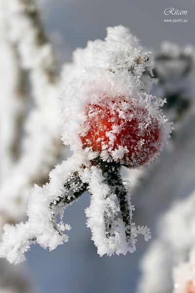 Winter Berry / Зимняя ягода