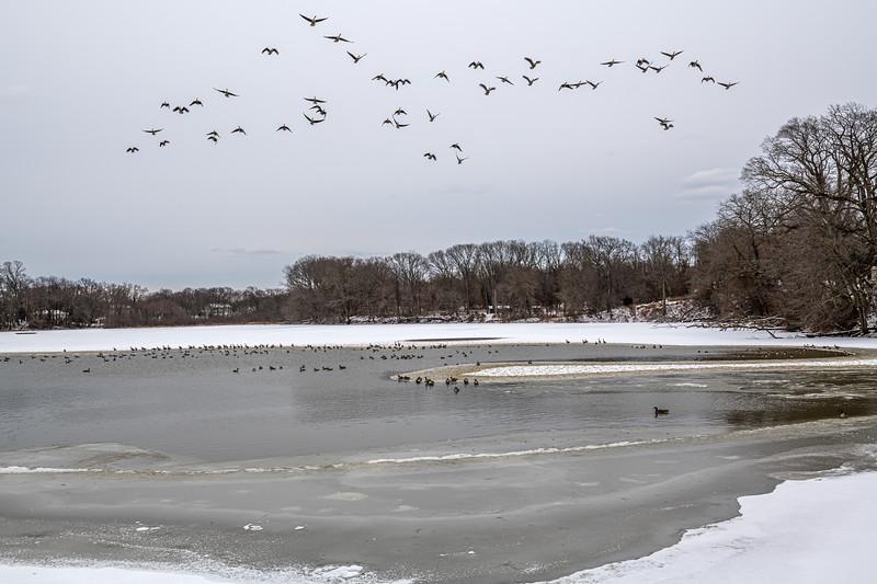 Winter Ducks in Flight