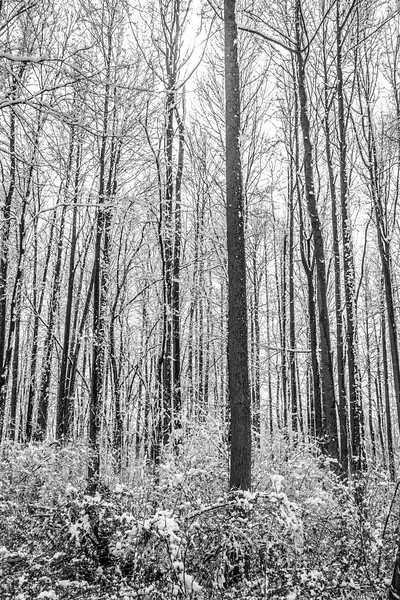 Contrasted Forest of Snow