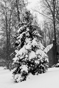 Snow on Pine Tree (1 of 1)