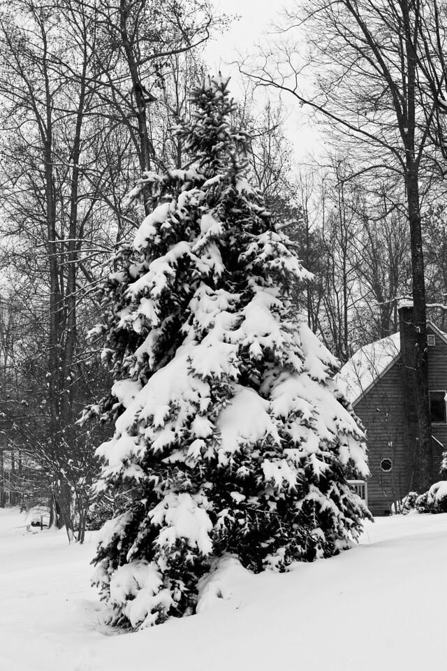 Snow on Pine Tree (1 of 1)