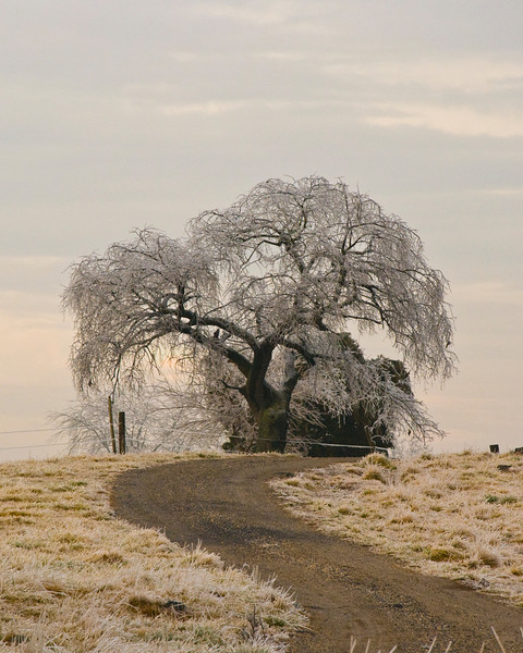 This tree was just gleeming with ice after an ice storm passed through our area of Southern Pennsylvania.  I spotted it on my way home from work and quickly grabbed my camera to capture it before the ice melted away.