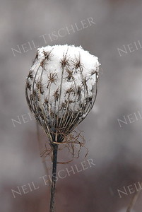 #468  Fluffy snow collected in a dried cup-shaped flower of Queen Anne's Lace