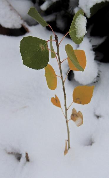A baby aspen tree!